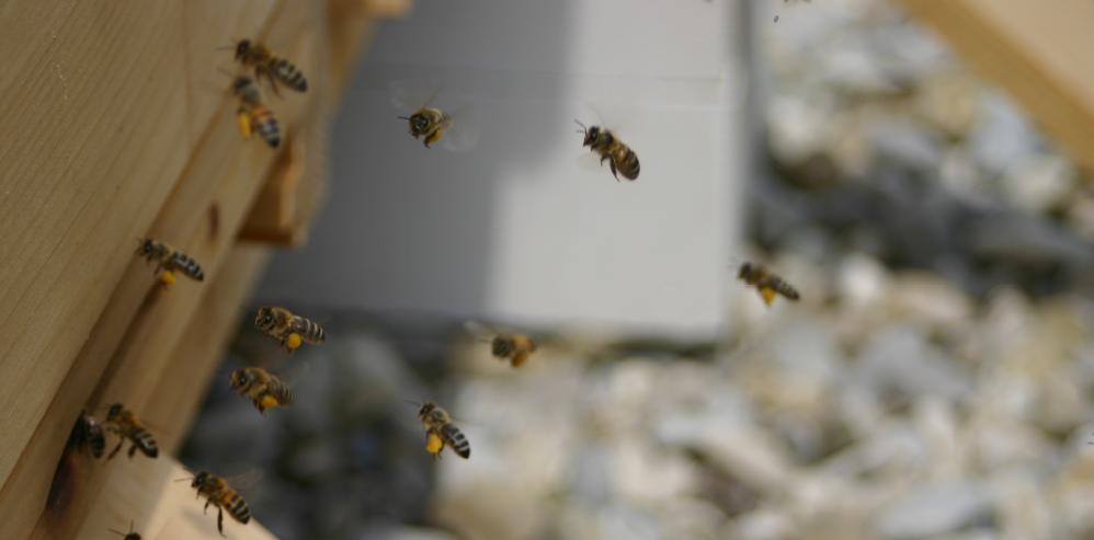 Webinar: Bienen halten im Gemeinschaftsgarten