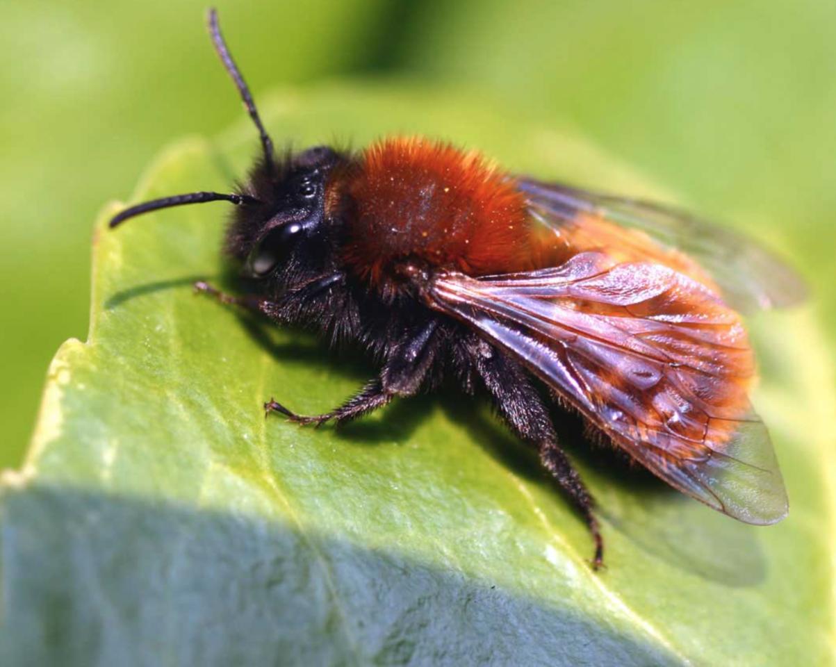 Webinar: Wildbienen in Gemeinschaftsgärten